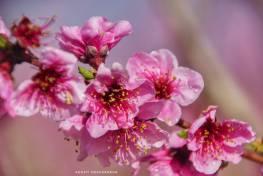 Floración de los frutales en Aitona