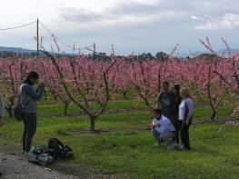 Floración de los frutales en Benissanet